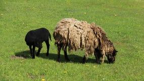 发咩声灯和母亲绵羊吃草充满幸福 库存图片