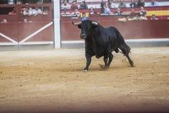 头发在b的黑色颜色一头勇敢的公牛的图的捕获  免版税库存照片