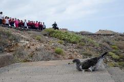发布一只cory ` s海鸥类飞鸟 免版税库存照片