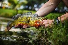 发布一条异乎寻常的孔雀低音鱼 免版税图库摄影