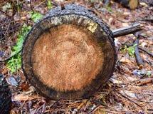 发怒裁减通过一个北美国五针松树干在森林里 图库摄影