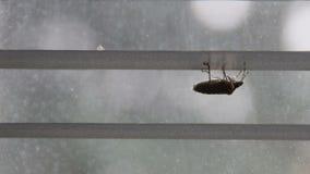 发恶臭臭虫清洗它的在窗帘pentatomoidea种类的后腿 股票视频