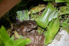 发烟性密林青蛙Leptodactylus pentadactylus 库存图片