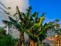 发烟性的作用 香蕉树 尼泊尔 免版税库存图片