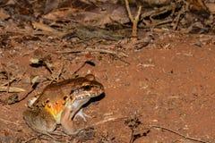 发烟性青蛙的密林 免版税库存图片