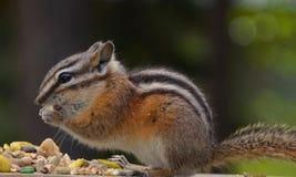发现一件珍宝的饥饿的花栗鼠 库存图片