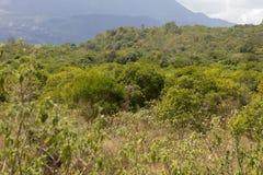 发现在草中的长颈鹿 免版税库存照片