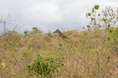发现在草中的长颈鹿 免版税库存图片