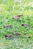 发现在绿草的鳞状breasted Munia大量食物 库存图片