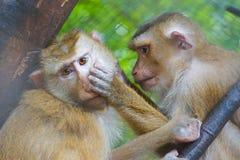 发现壁虱或蚤的猴子 免版税库存照片
