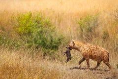 发现的鬣狗女性由脖子拾起她的崽 免版税库存图片