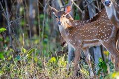 发现的鹿半人半兽状的神 库存图片