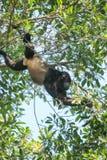 发现食物的刚果猴子 库存照片