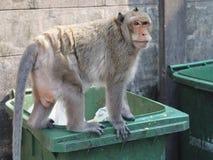 发现食物的饥饿的猴子尝试在肮脏的垃圾桶 免版税图库摄影