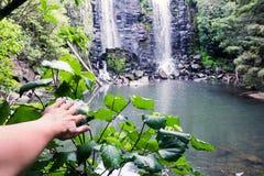 发现-在kawakawa植物的手Wairoa的Te Wairere Waterf 免版税库存照片