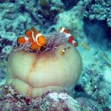 发现Nemo的小丑鱼 免版税库存图片