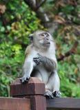 发痒的猴子 库存图片