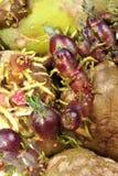 发芽仍然吃健康土豆 库存照片