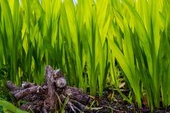 发芽从地球的鲜绿色的植物 库存图片