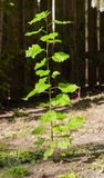 发芽从地面的叶茂盛树 库存照片