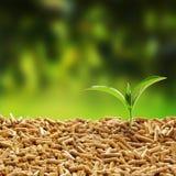 发芽从木药丸的新鲜的绿色幼木 免版税库存照片
