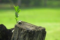 发芽从树干的绿色叶子被切开 免版税库存图片