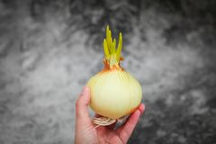 发芽从电灯泡的大葱在选择聚焦在灰色背景 大葱小的叶子  图库摄影