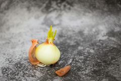 发芽从电灯泡的大葱在选择聚焦在灰色背景 大葱小的叶子  ?? 库存照片
