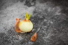 发芽从电灯泡的大葱在选择聚焦在灰色背景 大葱小的叶子  免版税库存照片