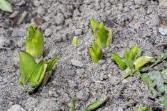 发芽出于地面的风信花植物 免版税图库摄影