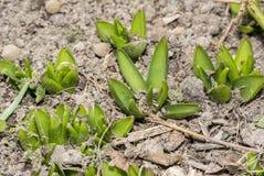 发芽出于地面的风信花植物 库存图片