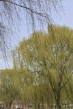 发芽叶子和花的柳树分支 免版税库存照片