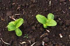 发芽向日葵在早期的春天庭院里 免版税库存照片