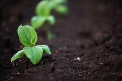 发芽向日葵在早期的春天庭院里 免版税库存图片