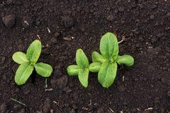 发芽向日葵在早期的春天庭院里 库存照片