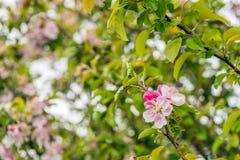 发芽和开花的野苹果从关闭进展 免版税图库摄影