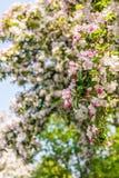 发芽和西府海棠苹果从关闭开花 图库摄影