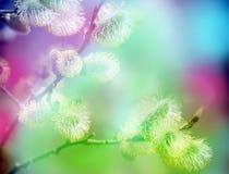 发芽和谐猫春天杨柳 库存照片