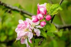 发芽和从关闭的开花的野苹果树 免版税库存照片