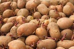 发芽土豆肿胀堆  免版税库存图片