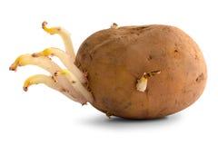 发芽的土豆 免版税库存照片 - 图片: 32849238图片