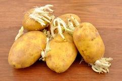 发芽土豆 库存照片