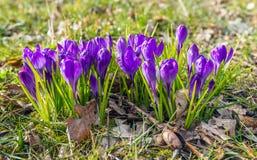 发芽在一个大领域的紫色番红花如被看见从边 免版税图库摄影