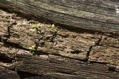 发芽在下落的日志的小植物 免版税库存图片