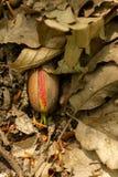 发芽在叶子中的橡子 免版税图库摄影