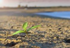 发芽在干燥破裂的土壤背景  免版税图库摄影