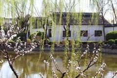 发芽在春天的杨柳 免版税库存图片