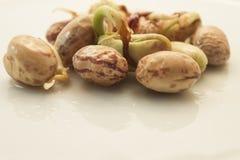 发芽在板材的扁豆 库存图片