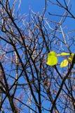 发芽在树的叶子 免版税库存照片