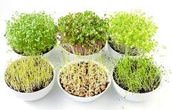 发芽在白色碗的六microgreens,从上面 库存图片